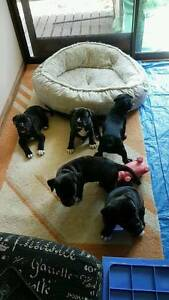 STAFFY PUPS Donnybrook Caboolture Area Preview