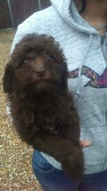 Toy poodle puppys