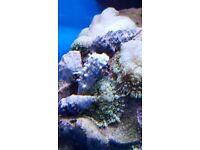 MARINE FISH / 4 X SMALL BLUE LEG HERMIT CRABS