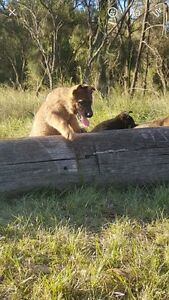 Working And Czech Import Line German Shepherds Penrith Penrith Area Preview