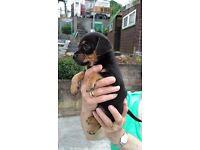 Beautiful 3/4 Jack Russell Pups