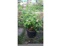Phildelphus plant