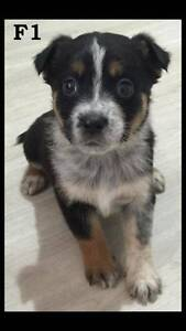 Puppies For Sale Traveston Gympie Area Preview