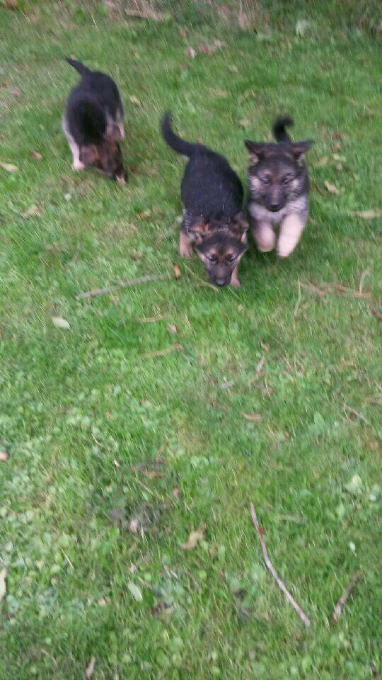 Beautiful German Shepherd pups