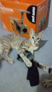 AK1557 : Barney Rubble - KITTEN FOR ADOPTION - Vet Work Inlcuded Port Kennedy Rockingham Area Preview
