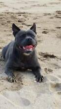 Pure Blue English Staffordshire pups Batemans Bay Eurobodalla Area Preview