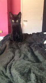8 week old black female kitten