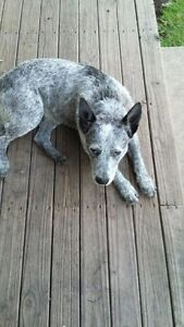 Blue Cattle Dog - Give Away Black Hill Cessnock Area Preview