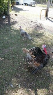 Proven Breeding pair of Turkeys Carbrook Logan Area Preview