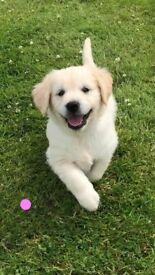 Purebred Reg Golden retriever pups (ready to go) *1 girl left*