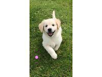 Purebred Reg Golden retriever pups (ready to go)