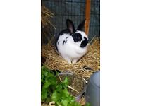 2 Rabbits for sale- Hutch included