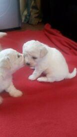 Bichon Frise Puppies Kennel Club Registered