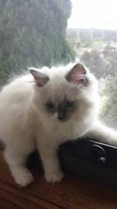 Purebred Ragdoll Kittens with Pedigree Papers. South Morang Whittlesea Area Preview