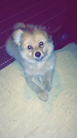 2 year old Pomeranian