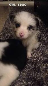 PURE BRED LONG HAIR BORDER COLLIE PUPS Officer Cardinia Area Preview
