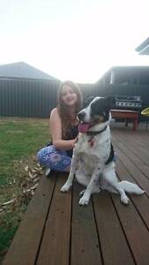 Bella - Brown, Black and white medium to large 'Cattle dog' Como South Perth Area Preview
