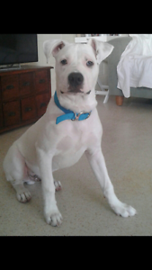Staffy X looking for new best mate Glenside Burnside Area Preview