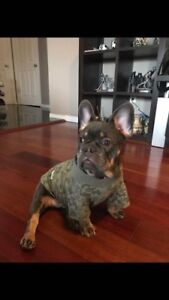 LOST FRENCHIE - TILLSONBURG
