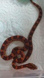 16 week old corn snakes