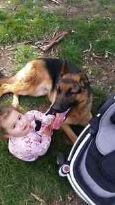 german shepherd for sale South Morang Whittlesea Area Preview