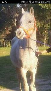 Arabian Project Mares $400 each. Caboolture Caboolture Area Preview
