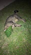 Found Deceased Cat Darch Wanneroo Area Preview