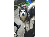 Looking for a forever home for an Alaskan Malamute