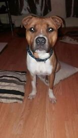 Staffordshire bull terrier needs a good home