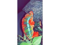 Year old male panther chameleon with viv & everything pictured