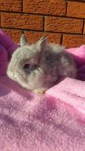 Jersey Woolly rare baby bunnies Lake Heights Wollongong Area Preview