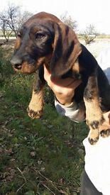 Dachsund Puppy ready to go