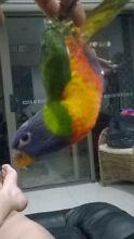 Rainbow  lorikeet Coomera Gold Coast North Preview