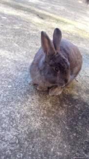 Friendly rabbit free to good home Leichhardt Leichhardt Area Preview