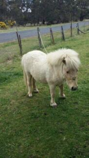 Mini pony for sale Glen Innes Glen Innes Area Preview