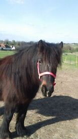 11.2 dartmoor pony