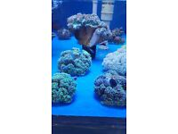 MARINE FISH / NICE SIZE AND COLOUR AUSTRALIAN TORCH CORAL.