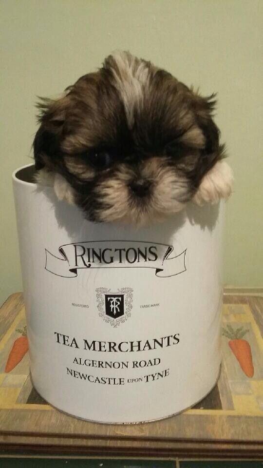 Superb small Shih Tzu puppies
