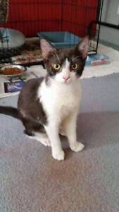 AK1559 : Wilma - KITTEN FOR ADOPTION - Vet Work Included Port Kennedy Rockingham Area Preview