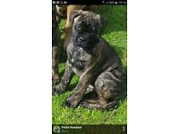 Bull Mastiff Bitch Puppy