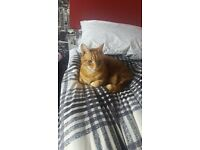 MISSING: Old, male ginger tabby cat. Missing from the Stanningley area.