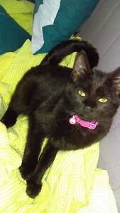 AK1705 - Shyla - KITTEN FOR ADOPTION - Vet Work Included Canning Vale Canning Area Preview