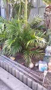 Bangalo palm trees and ferns for sale Pascoe Vale Moreland Area Preview
