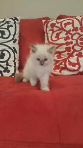 PUREBRED Ragdoll kittens Pymble Ku-ring-gai Area Preview