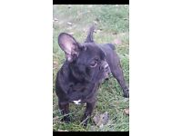 Brindle French Bulldog Puppies Two Male Ready to Go