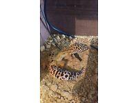female leopard gecko with full setup