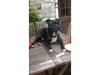 2 year male staffy for sale