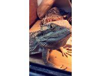 Bearded dragon with Vivarium!!
