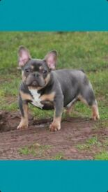 Blue Kc french bulldog Pups
