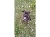 female staffy cross
